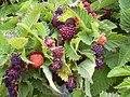 Starr 040723-0304 Rubus hawaiensis.jpg