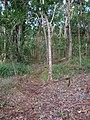 Starr 041214-1526 Setaria palmifolia.jpg