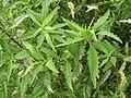 Starr 050816-3669 Chenopodium ambrosioides.jpg