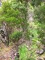 Starr 050816-7426 Smilax melastomifolia.jpg