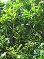 Starr 061105-1393 Murraya paniculata.jpg