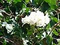 Starr 070206-4202 Bougainvillea sp..jpg