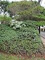 Starr 070208-4346 Artemisia australis.jpg