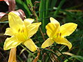 Starr 070302-4918 Hemerocallis sp..jpg