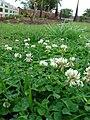 Starr 070313-5641 Trifolium repens.jpg