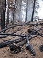 Starr 070908-9362 Pinus sp..jpg