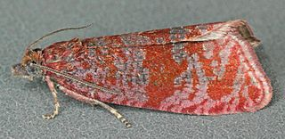 <i>Stictea</i> Genus of tortrix moths