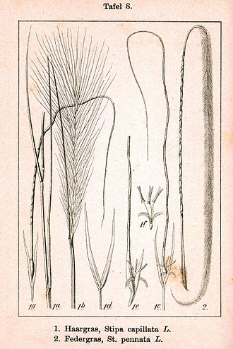 Stipa spp. Ботаническая иллюстрация Якоба Штурма из книги Deutschlands Flora in Abbildungen, 1796