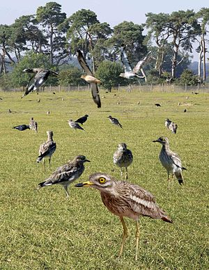 United Kingdom Biodiversity Action Plan - Image: Stone Curlew from the Crossley ID Guide Britain and Ireland