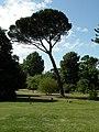 Stone Pine - Pinus pinea - geograph.org.uk - 1452109.jpg