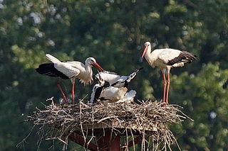 Bociany na hniezde s mláďatami