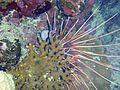 Strahlenfeuerfisch.JPG