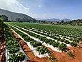 Strawberry farm in Lambasinghi.jpg
