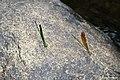 Stream Glory (Neurobasis chinensis) female & male. (26842360889).jpg