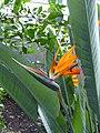 Strelitzia reginae Frutigen 1.jpg