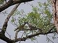 Streptopelia turtur, grlica.jpg
