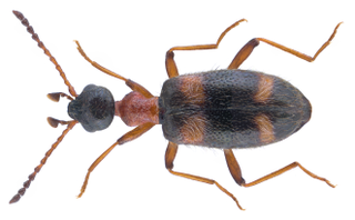 <i>Stricticollis</i> genus of insects