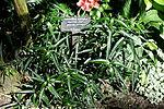 Strobilanthes persicifolia (Strobilanthes isophyllus) - Bloedel Floral Conservatory, Queen Elizabeth Park - Vancouver, Canada - DSC07481.JPG