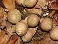 Stump puff ball fungi in Burnham Beeches - geograph.org.uk - 278641.jpg