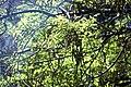 Styphnolobium japonicum-4.jpg