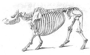 Sumatran rhinoceros - Skeleton of the Sumatran rhinoceros