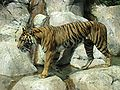 Sumatran Tiger 006.jpg