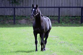 Sunday Silence at Shadai Stallion Station,Hayakita(Abira) Hokkaido Japan.