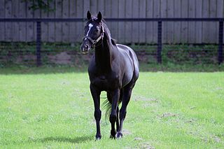Sunday Silence American-bred Thoroughbred racehorse