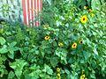 Sunflower image7.jpg