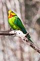 Superb Parrot (Polytelis swainsonii) (8079600192).jpg