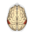 Supramarginal gyrus - superior view.png