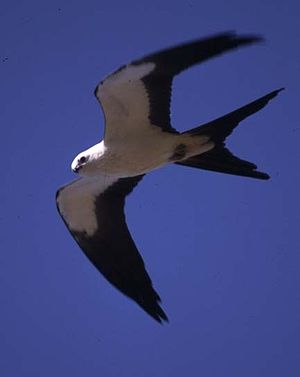 Aves in the 10th edition of Systema Naturae - The swallow-tailed kite was named Falco forficatus in 1758.