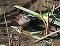 Swamp Sparrow (crop test) (32459113821).jpg