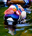 Swimming Mandarin drakes at Bushy Park, Dublin.jpg