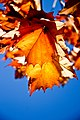 Sycamore leaves (6338626132).jpg