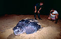 Sylvain and Jean watching the egg laying of a Leatherback Sea Turtle (Dermochelys coriacea) (10629903575).jpg