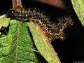 Symbrenthia hippoclus larva 1.jpg