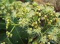 Syzygium caryophyllatum 33.JPG