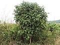 Syzygium guineense.jpg