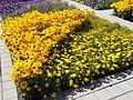 Szent István Park. Flower bed. Yellow. - Budapest.JPG