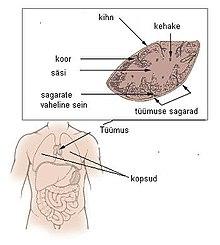 7a8dcf1709f Inimese tüümuse anatoomia[muuda lähteteksti]