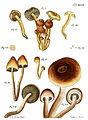 Tab49-Agaricus lateritius Schaeff.jpg