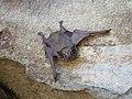 Taphozous australis.jpg