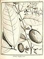 Taralea oppositifolia Aublet 1775 pl 298.jpg