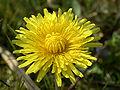 Taraxacum officinale (inflorescense).jpg