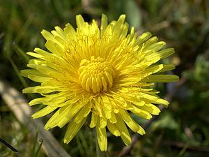 Taraxacum officinale (inflorescense).