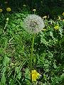 Taraxacum officinalis DSC02041.JPG
