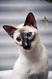 Tri Coloured Cat Blue Eyes
