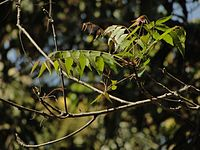 Tender Neem leaves in Karnataka, India.JPG