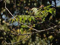 Tender Neem leaves in Karnataka, India